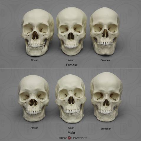 Human Male and Female Skulls African, Asian, and European - Bone.