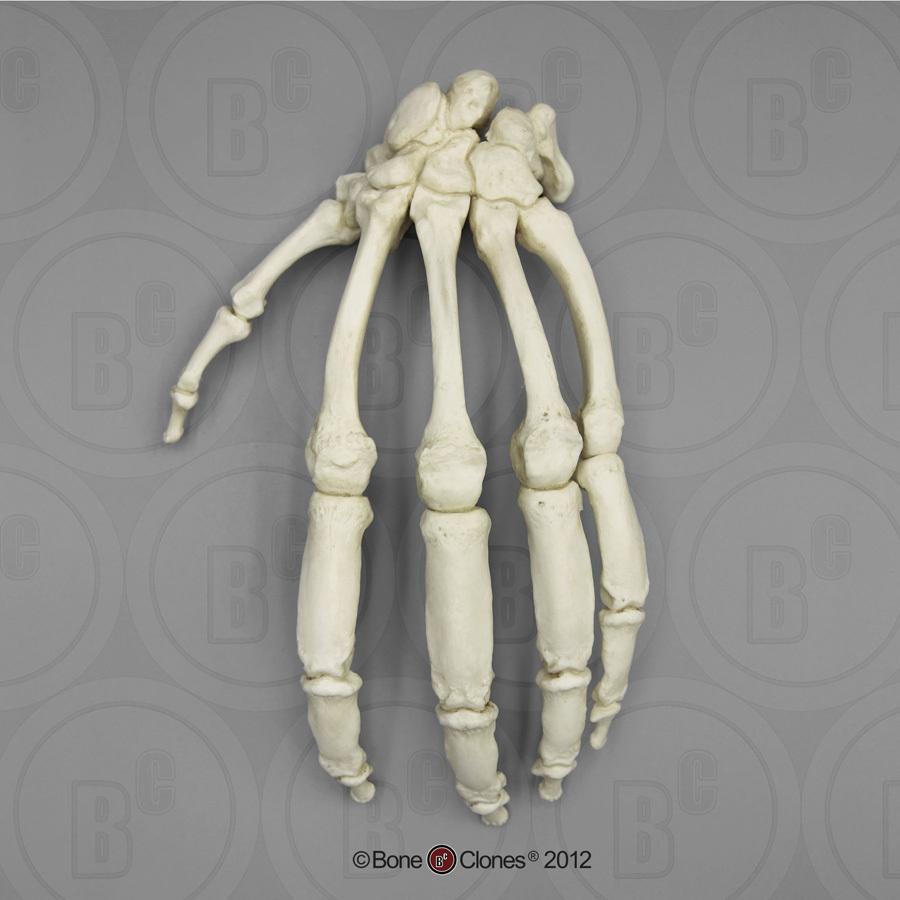 Real Human Skeleton Hand Digitalspacefo