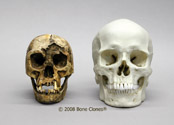 The new skull shown here with our adult Human Male European Skull BC-107