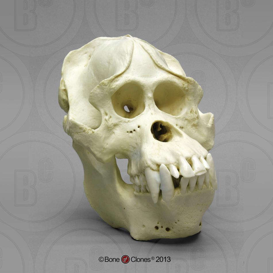 http://www.boneclones.com/images/bc-002s-lg.jpg