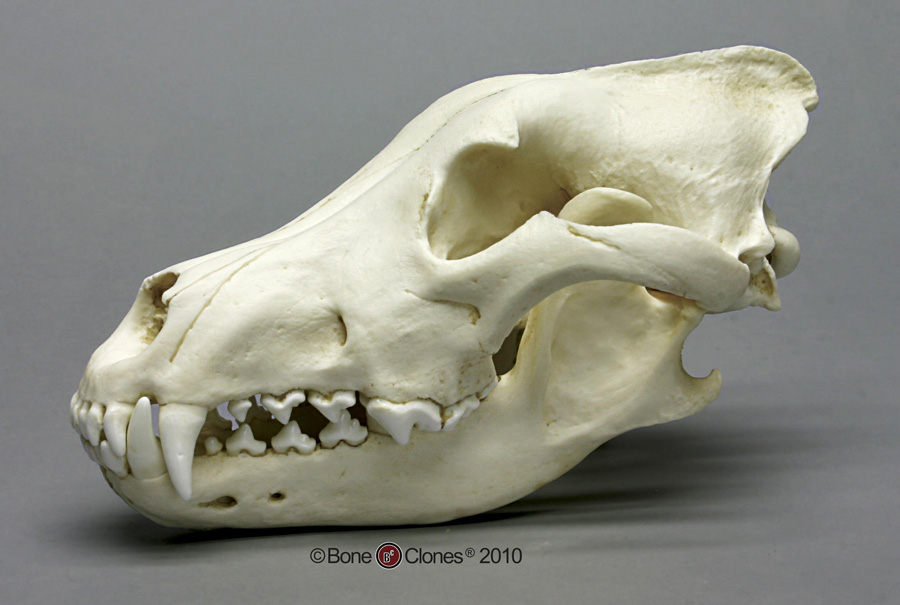 Learing about the Fire animals through... Skulls! Bc-004-lg