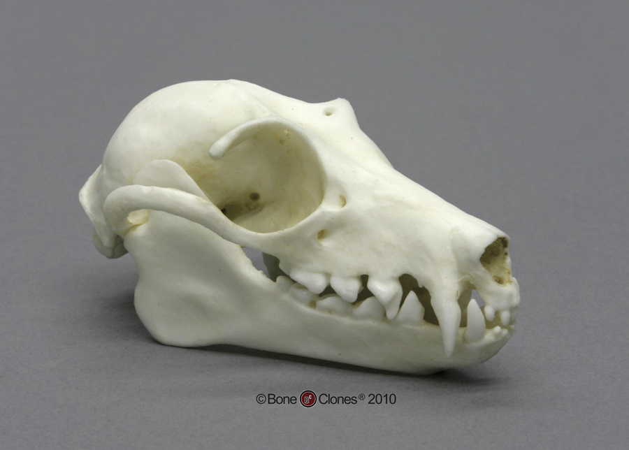 http://www.boneclones.com/images/bc-007-lg.jpg