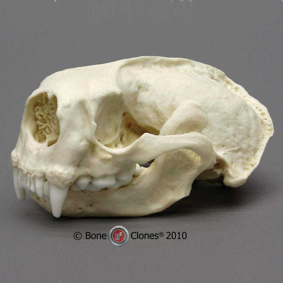 Sea Otter Skull Bone Clones Inc Osteological