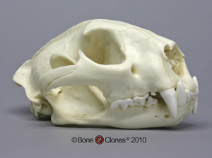 Cougar Skull, Male Replica