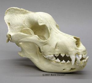http://www.boneclones.com/images/bc-023-md.jpg