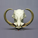 Warthog Skull and Tusks BC-041