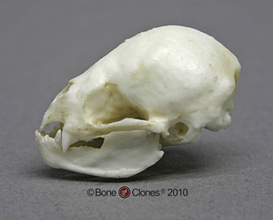 Common Vampire Bat Skull BC-048