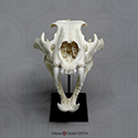 African Lion Skull, Male BC-054