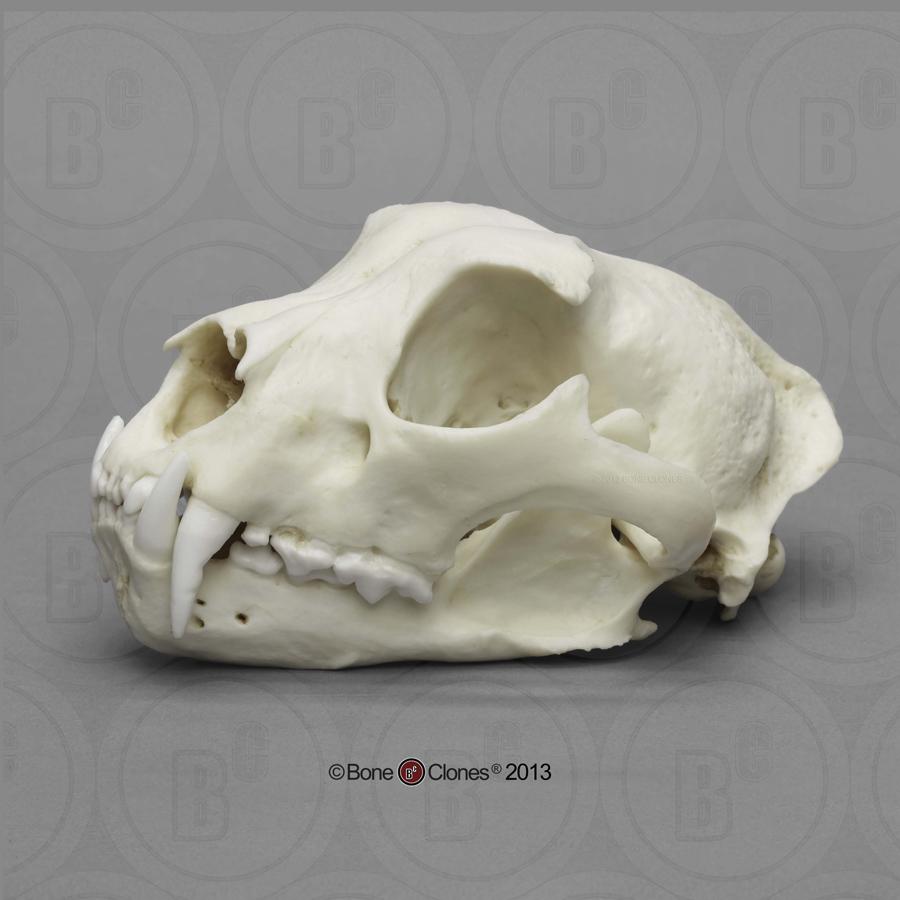 http://www.boneclones.com/images/bc-056-lg.jpg