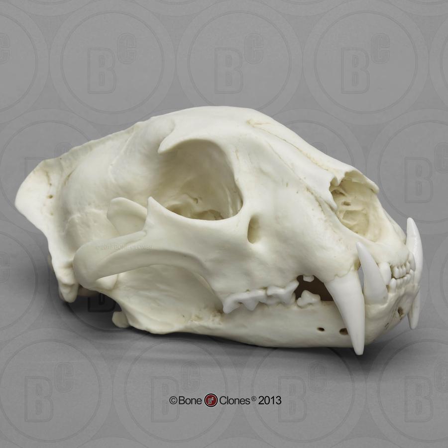 http://www.boneclones.com/images/bc-060-lg.jpg