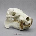 Pygmy Hippo Skull BC-076