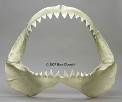 Great White Shark Jaw