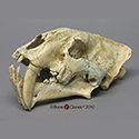 Chinese Megantereon nihowanensis Skull BC-106