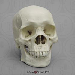 Human Male African Skull BC-110