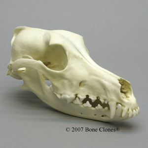 http://www.boneclones.com/images/bc-126-md.jpg