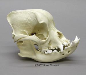 http://www.boneclones.com/images/bc-128-md.jpg