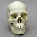 Human Female European Skull BC-133