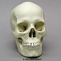 Human Female European Skull BC-133