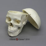 Human Female European Skull with Calvarium Cut BC-150