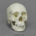 Human Female African-American Skull