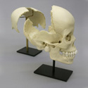 Articulated Human Medical Study Skull BC-191-A
