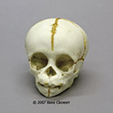 Chimpanzee Fetal Skull BC-205