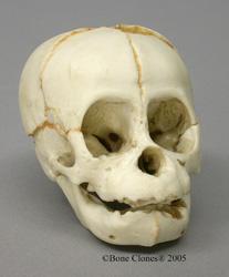 Orangutan Fetal Skull Replica