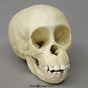 Chimpanzee Infant Skull BC-207