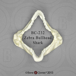 Zebra Bullhead Shark Jaw