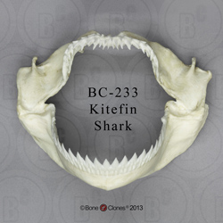 Kitefin Shark Jaw