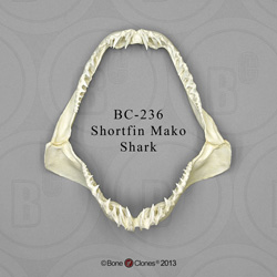 Shortfin Mako Shark Jaw