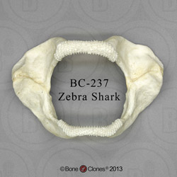 Zebra Shark Jaw