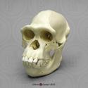 Female Chimpanzee Skull BC-248