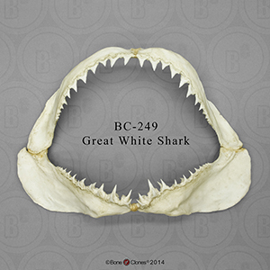 Small Great White Shark Jaw