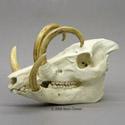 Babirusa Skull and Tusks BC-251
