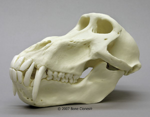 Male Chacma Baboon Skull Replica BC-258