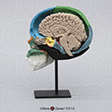 Color-Coded Human Sagittal Cut Half Skull with Brain Hemisphere