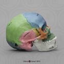 Human Sagittal Cut Half Skull BC-267-HP
