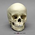 6-year-old Human Child Skull BC-268