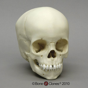 2-year-old Human Child Skull BC-275