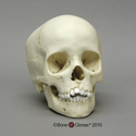 8-year-old Human Child Skull