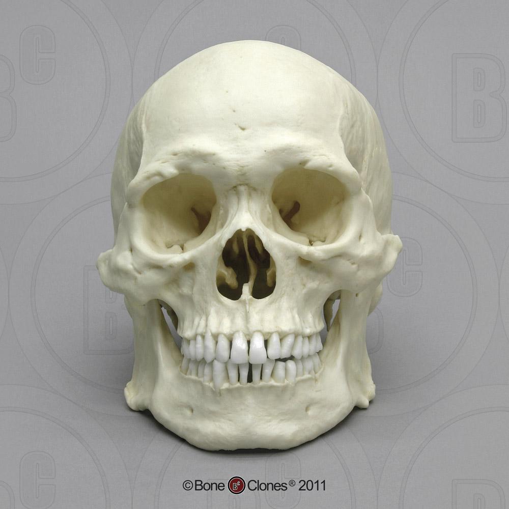 https://boneclones.com/images/bc-287-lg.jpg