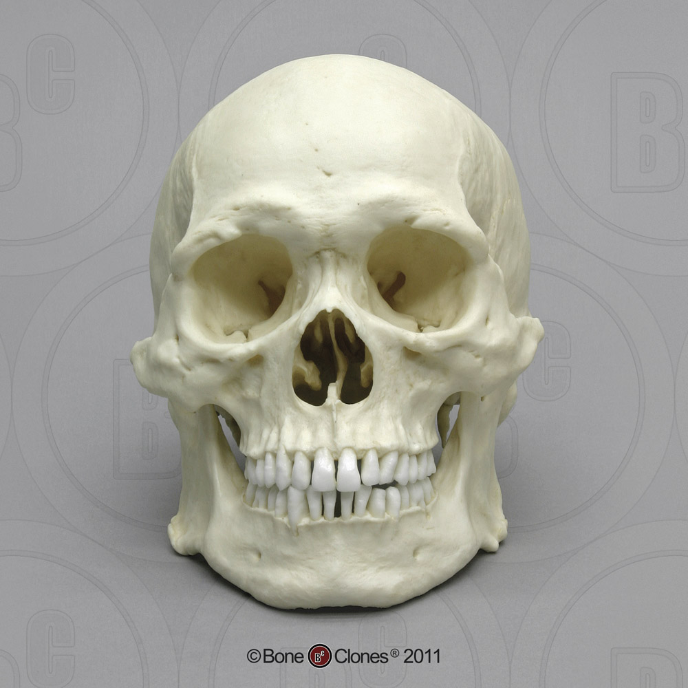 Human Male Asian Robust Skull BC-287