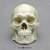Human Male Asian Robust Skull BC-287