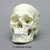 Human Male European Skull with Calvarium Cut and Numbered BC-293