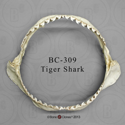Tiger Shark Jaw