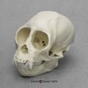 Squirrel Monkey Skull BC-320