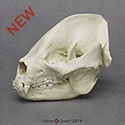 Giant Panda Skull BC-324