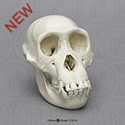Chimpanzee Juvenile Skull BC-325