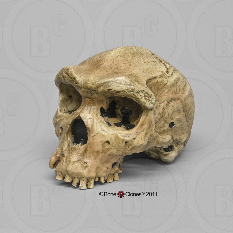 skull 1470 dating The species designation of homo rudolfensis is a much debated topic the type specimen of homo rudolfensis is knm-er 1470 its dating (whether the early.